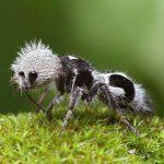 مورچه پاندا