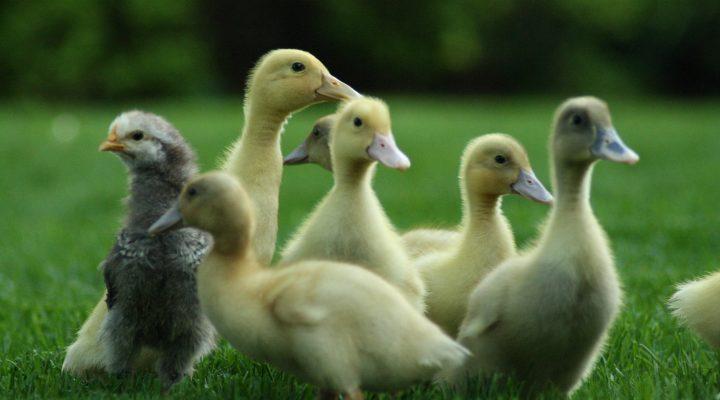 گالری عکس جوجه اردک