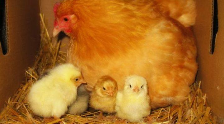 گالری عکس مرغ و جوجه هایش