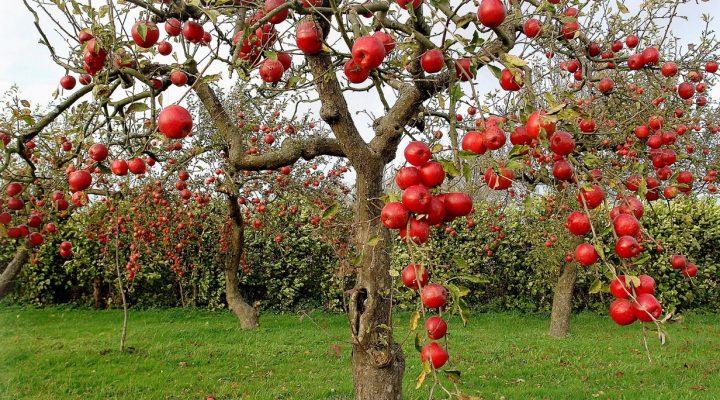گالری عکس درخت سیب