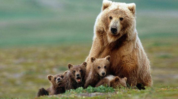 گالری عکس خرس قهوه ای