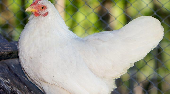 گالری عکس مرغ