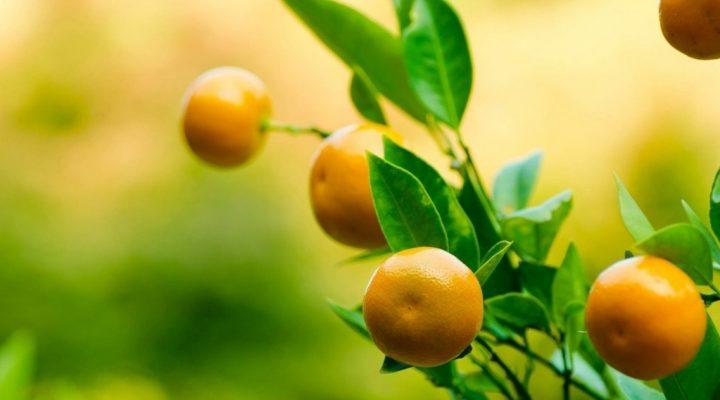 گالری عکس درخت پرتقال