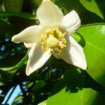 گل درخت پرتقال