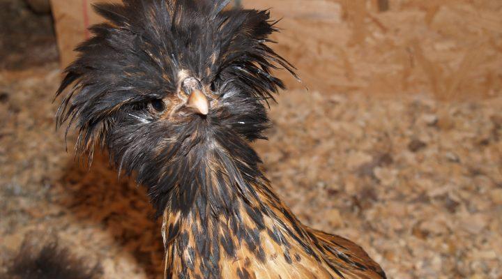 گالری عکس مرغ لهستانی