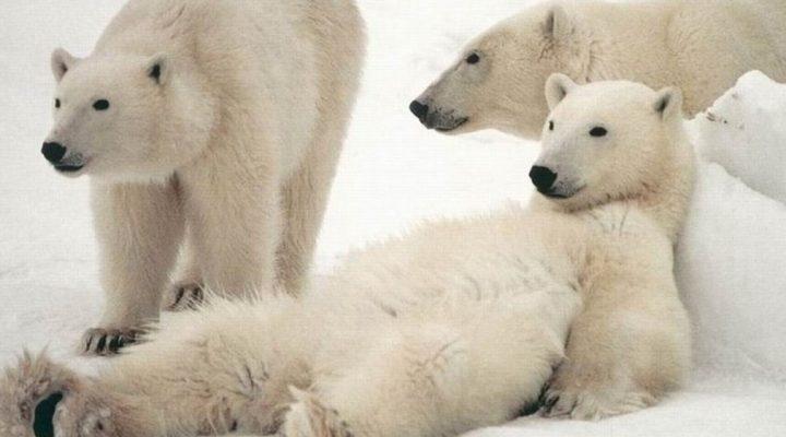 گالری عکس خرس قطبی