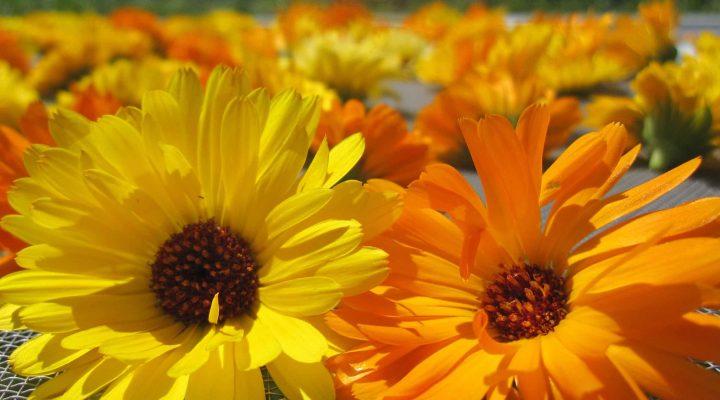 گالری عکس گل همیشه بهار