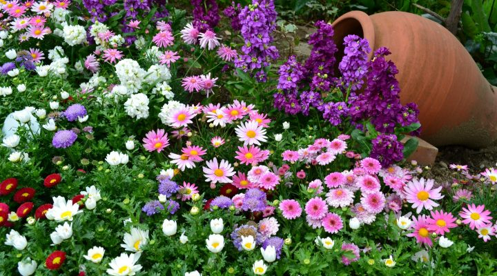 گالری عکس گل های داوودی ۲