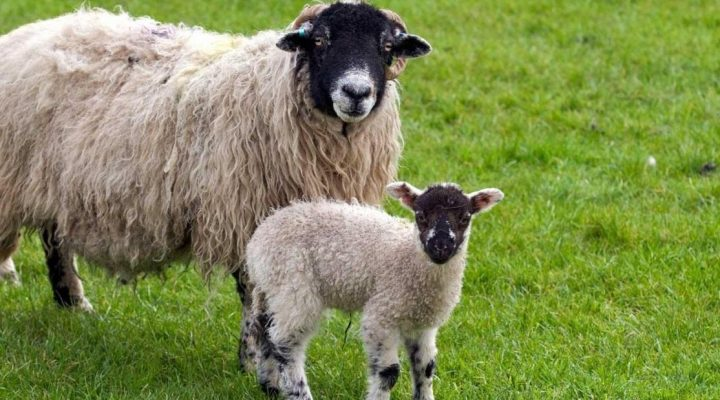 گالری عکس گوسفند
