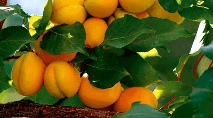 گالری عکس درخت زردآلو