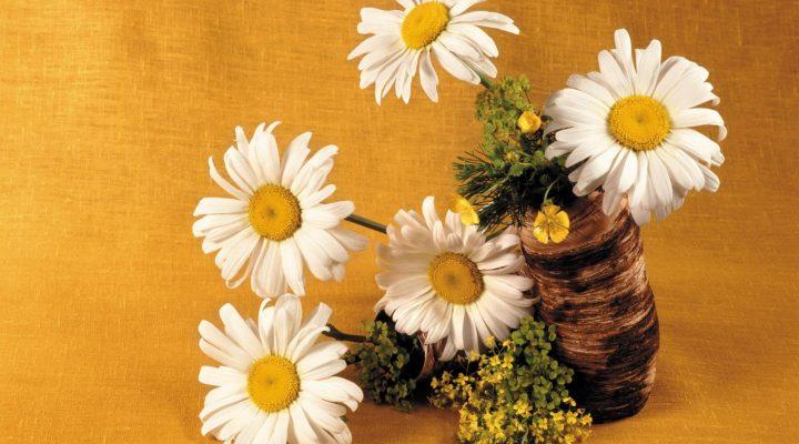 گالری عکس گل های داوودی