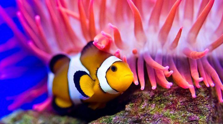 گالری عکس دلقک ماهی