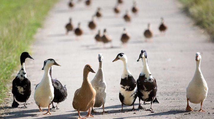 گالری عکس اردک