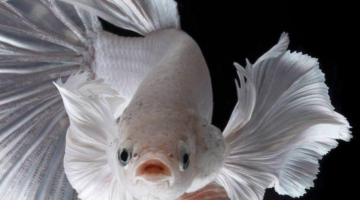 گالری عکس ماهی فایتر