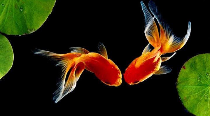 گالری عکس ماهی گلدفیش