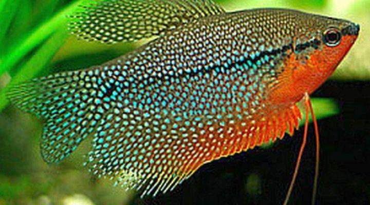 گالری عکس ماهی گورامی