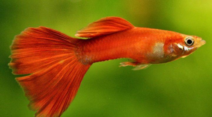 گالری عکس ماهی گوپی