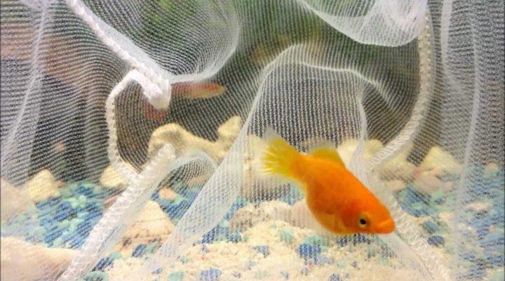 گالری عکس ماهی مولی