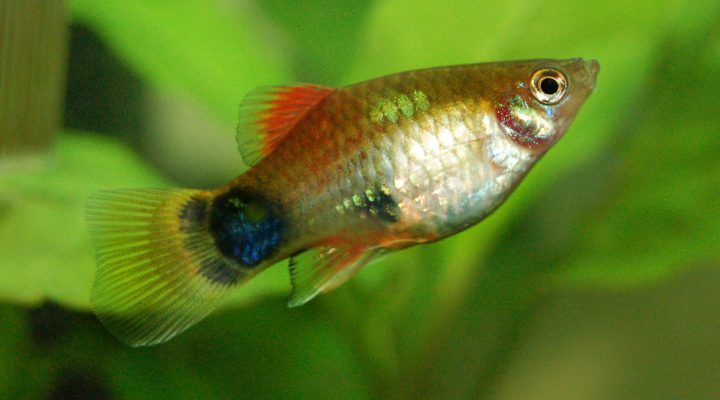 گالری عکس ماهی پلاتی