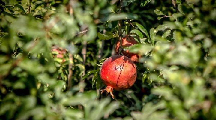 گالری عکس درخت انار