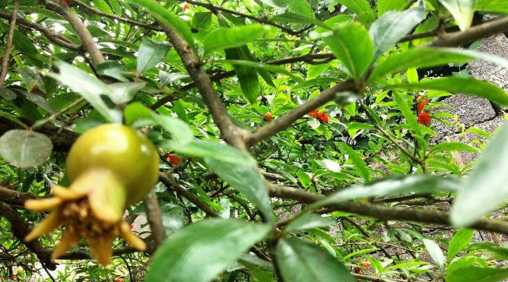 گالری عکس یک درخت انار