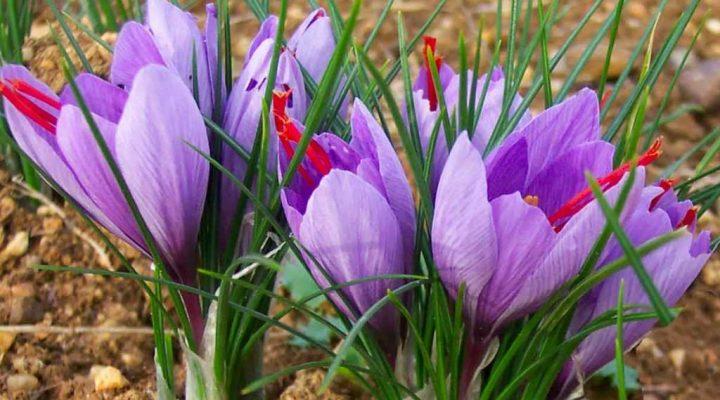 گالری عکس گل زعفران