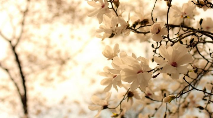 گالری عکس گل ماگنولیا