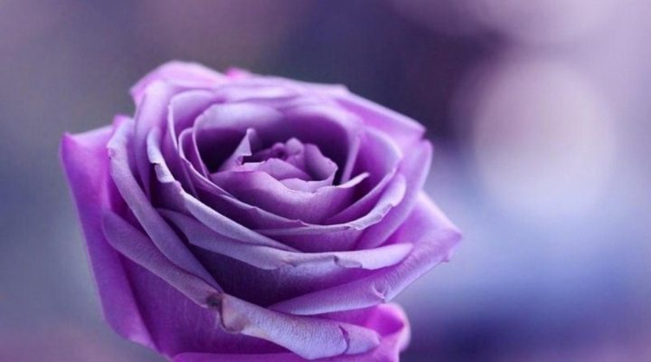گالری عکس گل رز بنفش
