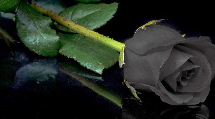 گالری عکس گل رز مشکی