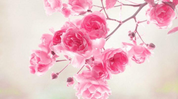 گالری عکس گل برای والپیپر