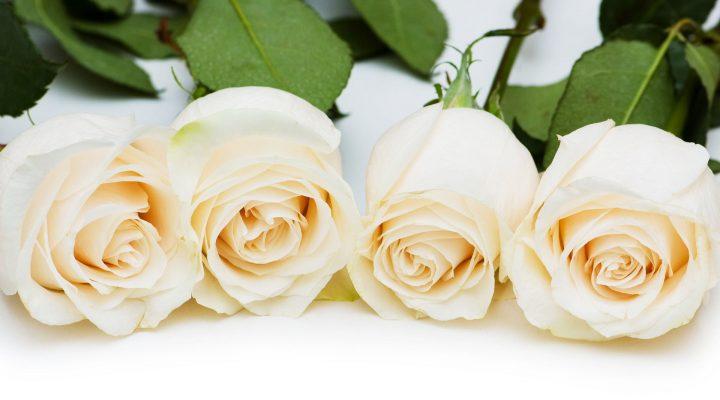 گالری عکس گل رز سفید