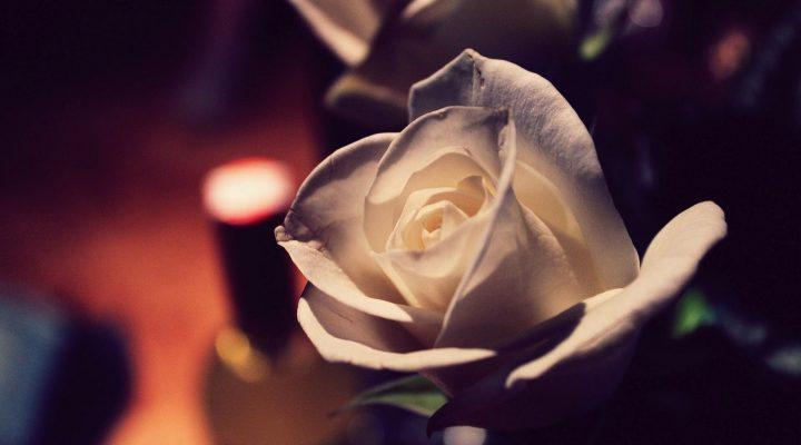 گالری عکس گل رز