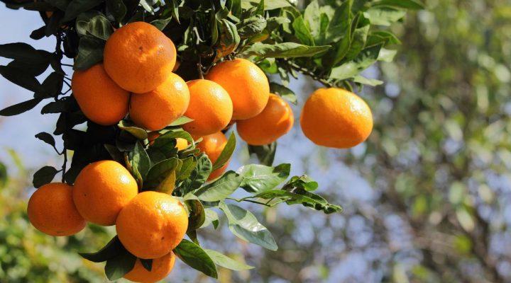 گالری عکس درخت نارنگی