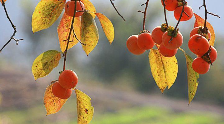گالری عکس درخت خرمالو