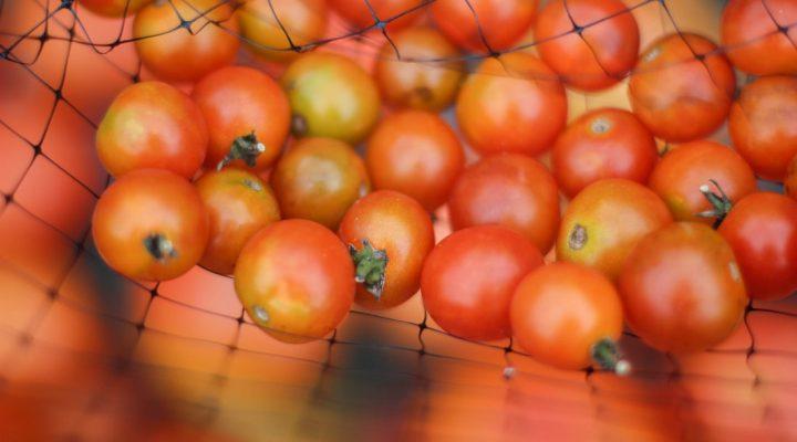 گالری عکس گوجه فرنگی