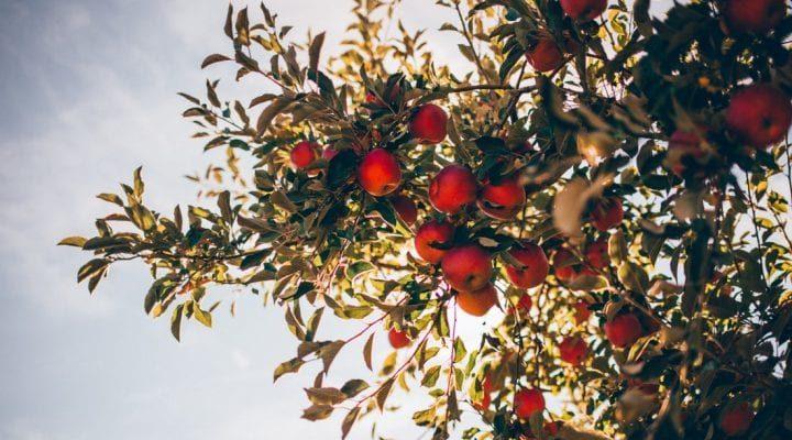 گالری عکس درخت سیب (۲)