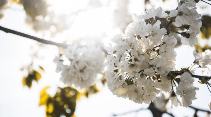 گالری عکس شکوفه گیلاس