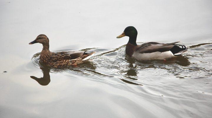 گالری عکس اردک (۲)