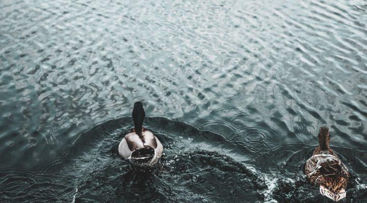 گالری عکس اردک های بامزه