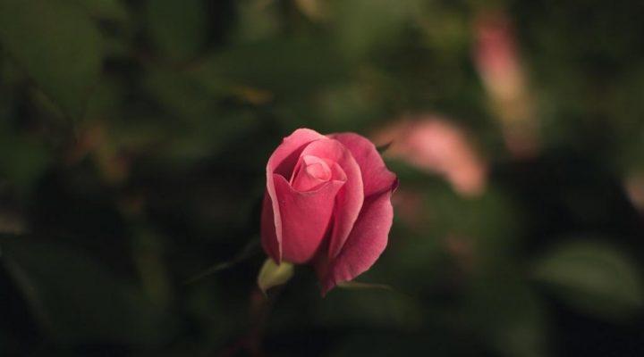 گالری عکس گلهای زیبا (۲)