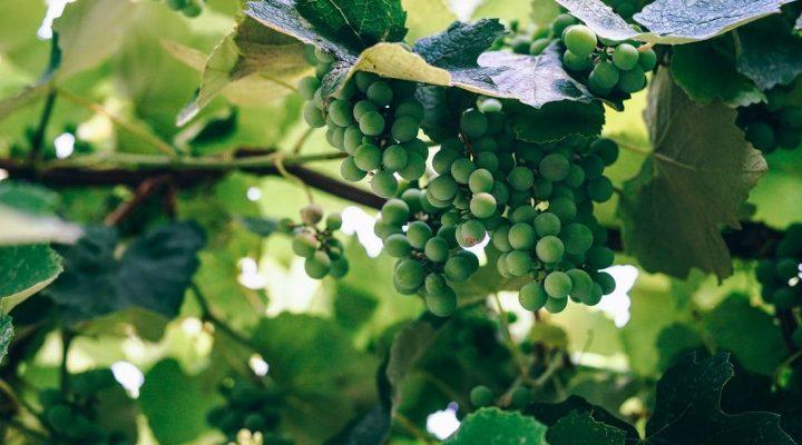 گالری عکس انگور (۴)