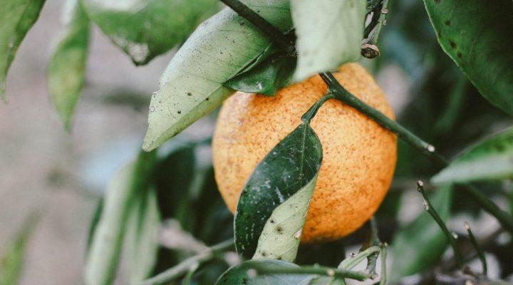 گالری عکس درخت پرتقال (۲)