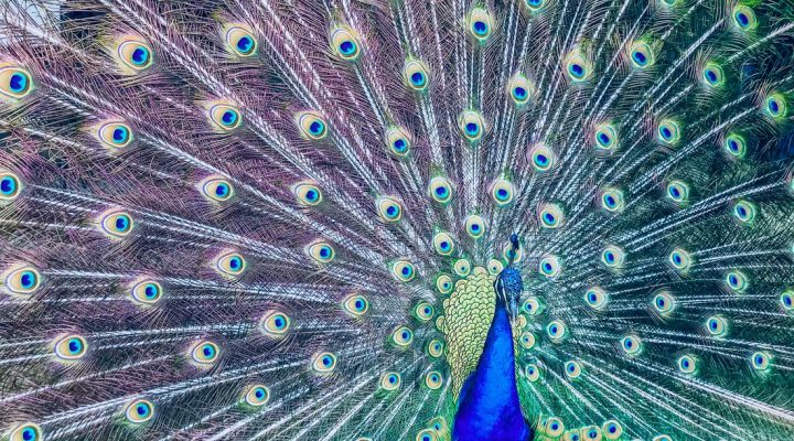 گالری عکس طاووس