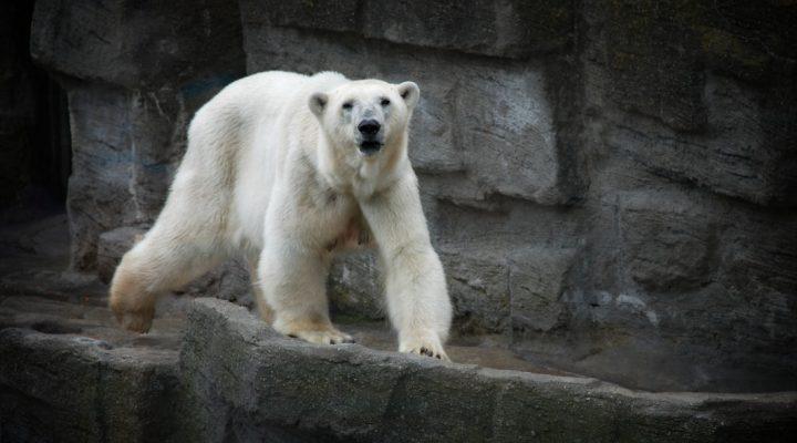 آیا خرس قطبی سفید است؟