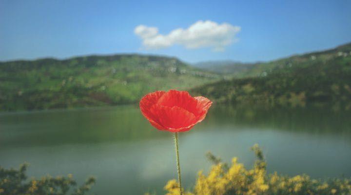 گالری عکس گل لاله (۲)