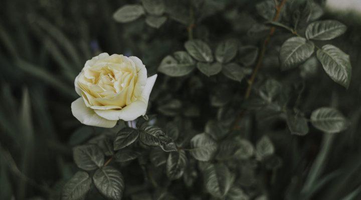 گالری عکس گلهای رز زیبا