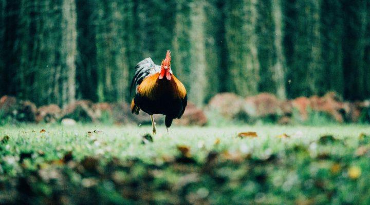نحوه نگه داری مرغ و خروس